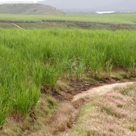 Plantação de Cana, Canavial