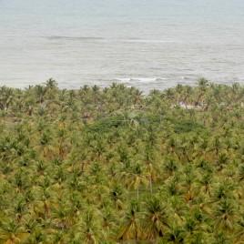 Plantação de Coco, Coqueiral