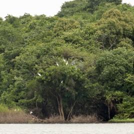 Garças repousam em uma Árvore