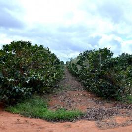 Plantação de Café / Cafezal