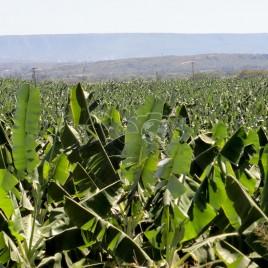 Plantação de Banana – Barbalha (CE)