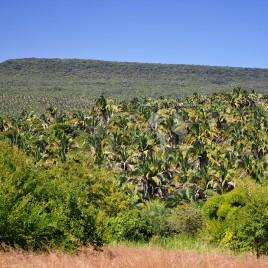 Babaçual na base da Chapada do Araripe