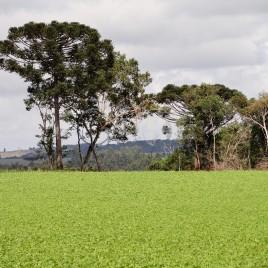 Plantação de Soja – Paraná