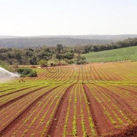 Plantação de Batatas