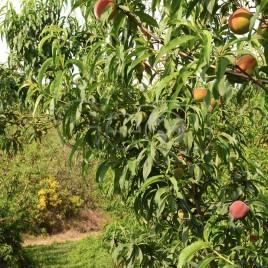 Pessegueiros com frutas – Jarinu (SP)