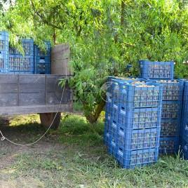 Pêssegos em caixas – Jarinu (SP)