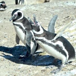 Pinguins – Península Valdés