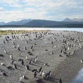 Colônia de Pinguins