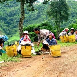 Colheita do Chá – Trabalhadoras