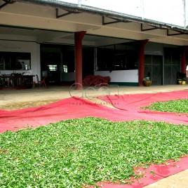 Folhas de Chá secando