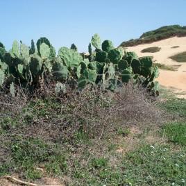 Cactácea do gênero Opuntia – Beberibe (CE)