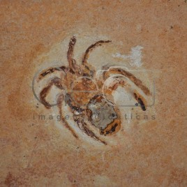 Fóssil – Santana do Cariri (CE)