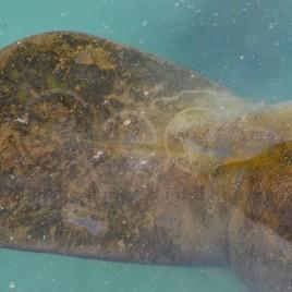 Cauda de Peixe-Boi – I. de Itamaracá (PE)
