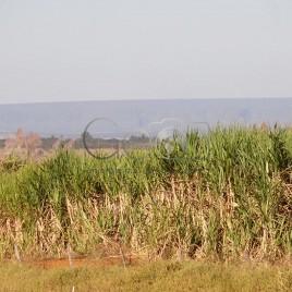 Cana-de-Açúcar em Morrinhos (GO)