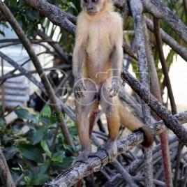 Macaco Prego – Praia de Caburé (MA)