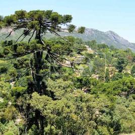 Mata de Araucárias, Monte Verde (MG)