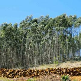Toras cortadas, e eucaliptos (MG)