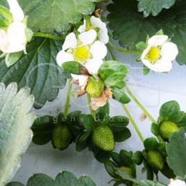 Cultivo de Morango (MG)