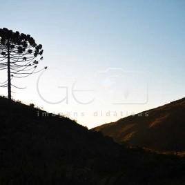 Araucária – Parque Nacional do Caparaó