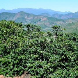 Cultivo de Café – Manhumirim (MG)
