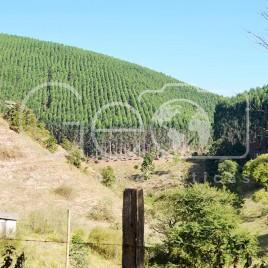 Plantação de Eucaliptos – Coroaci (MG)