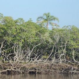 Manguezal – Iguape (SP)