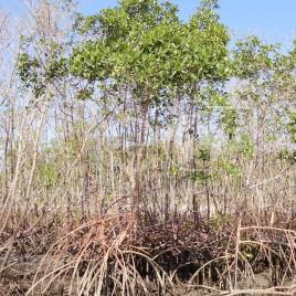Manguezal – Ilha Comprida (SP)
