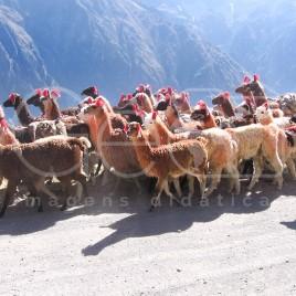 Criação de Lhamas – Chivay, Peru
