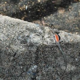 Pequeno Lagarto – Serra da Capivara
