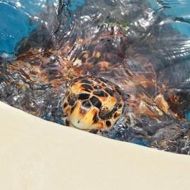 Tartaruga Cabeçuda ou Mestiça – Tamar (BA)