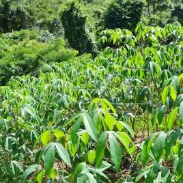 Cultivo de Mandioca – Sabinópolis (MG)