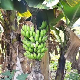 Cacho de Bananas – Sabinópolis (MG)