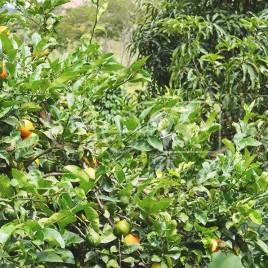 Limoeiro-cravo – Sabinópolis (MG)